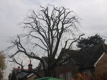 Horse Chestnut 30% Reduction. Tree Surgery  in Putney West London SW15.jpg
