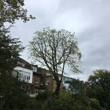 London Plane 4m reduction. Tree Surgery in West Hamstead North West London.jpg