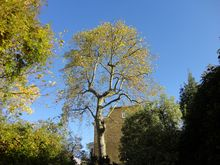 London Plane reduction in Paddington West London W2 .jpg