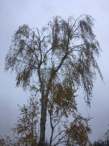 Silver Birch Reduction in Queens Park NW6.jpg