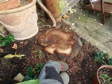 Stump Removal in Holland Park West London.jpg
