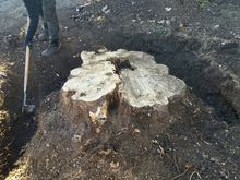 Stump Removal in West Hamstead North West London.jpg