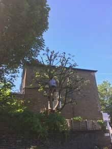 Sycamore Prune in Shepards Bush W12, West London.jpg