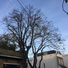 Tree of Heaven and Lime 30%  Crown reduction in Hammersmith, West London W6.jpg