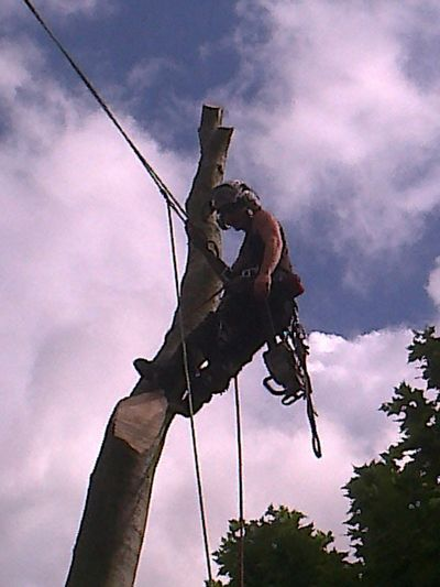 Beech Fell to ground level by sectional takedown Richmond, South West London SW15 .jpg