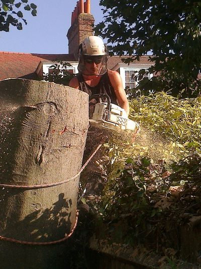 Beech Tree Fell to ground level by sectional takedown Fulham, South West London SW6.jpg