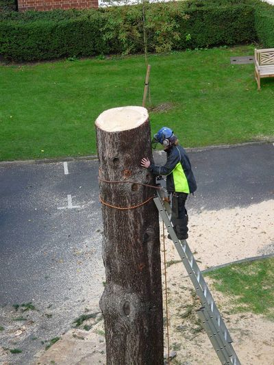 Cedar Fell to ground level by sectional takedown Barnes, South West London SW13.jpg