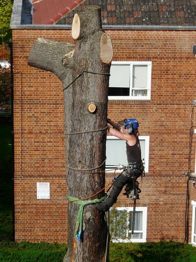 Cedar of Lebanon Fell to ground level by sectional takedown Chiswick, West London W4.jpg