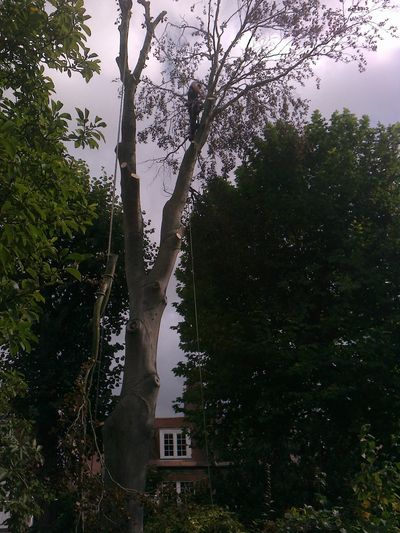 Copper Beech Fell to ground level by sectional takedown Putney, South West London SW15.jpg