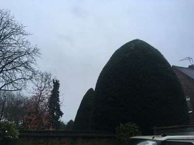 Hedge trimming job in Chiswick W4 West London.jpg