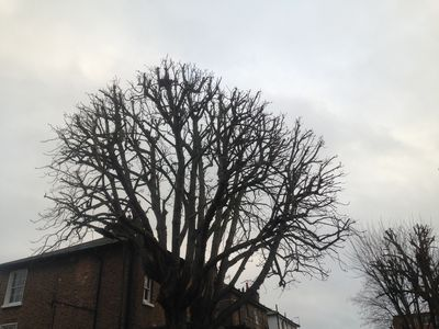 Horse Chestnut Back to previous. Tree Surgery in Maida Vale W9.jpg