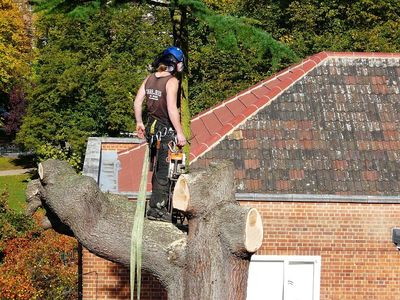 Large Cedar Fell to ground level by sectional takedown in Ealing, West London W13.jpg