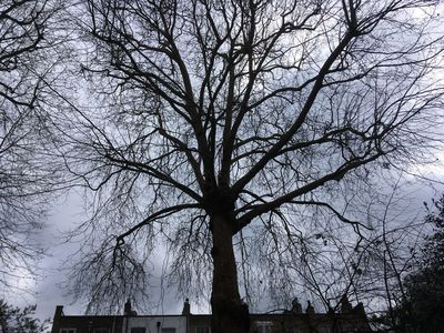 Large Plane tree to remove ivyWest Brompton South West London SW10 (2).jpg