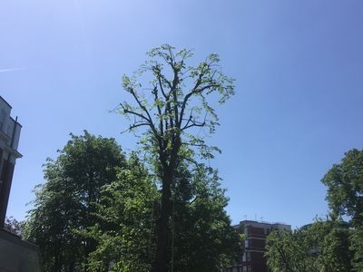 Lime Tree reduction at Addisson House, St Johns Wood North West London, NW8.jpg
