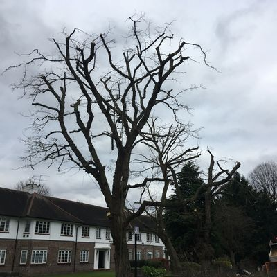 Robinia 40% reduction in South West London.jpg