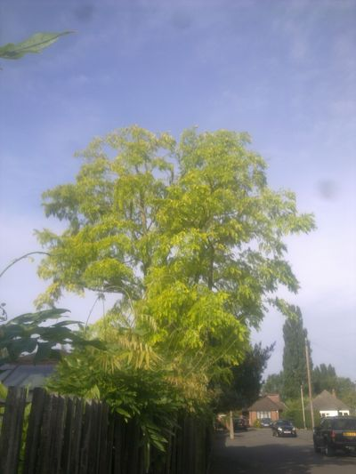 Robinia reduction in Earls Court West London.jpg