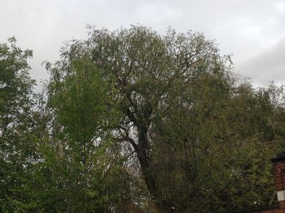 Willow Tree Crown reduction in North West London.jpg